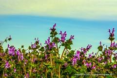 Henbit Dead Nettle (T i s d a l e) Tags: tisdale henbitdeadnettle herb wildflower winter february 2017 easternnc