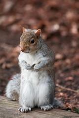People Watching (fotojak1) Tags: squirrel rodent animal cute bushytail royalbotanicgardenedinburgh rbge outdoor outside scotland grey gray greysquirrel graysquirrel handheld nikond7100 sigma70300mm johnritchie