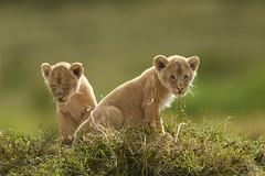 Adorable (Nitin's Photography) Tags: cubs lion wildlife nature grasslands masaimara kenya animals bigcats bigfive backlit canon5dmkiii