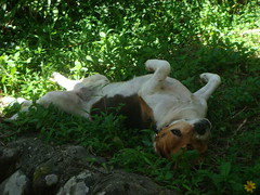 taking it easy (Yugan Dali) Tags: dog beagle taiwan   wulai  yumin ulay
