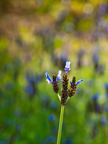 Fernleaf Lavender 蕨葉薰衣草