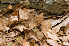 Agkistrodon contortrix (Kevin Stohlgren) Tags: camouflage copperhead agkistrodon contortrix viperidae