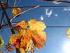 foglie di vite del collio