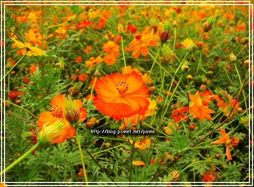 橘黃色波斯菊