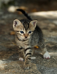 Wigglin' (Feral / Stray kitten) (Roeselien Raimond) Tags: blue cats baby cute nature animal cat canon mammal greek photography eyes kitten feline kittens domestic catus meow housecat cutecat overload feral babycat felis domesticated suckling cutekitten babyanimal felidae blueribbonwinner feliscatus natuurfotografie cuteoverload silvestris cc100 impressedbeauty domesticatedcat pet1000 thrumyeye roeselienraimond