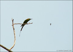 Bee & Eater