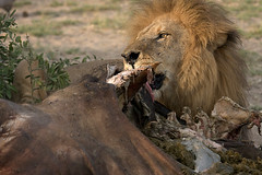 A good meal .... (Wild Dogger) Tags: wildlife botswana breathtaking naturesfinest wildnis blueribbonwinner specanimal golddragon dubaplains abigfave diamondclassphotographer flickrdiamond goldstaraward