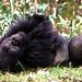 Rwanda Mountain Gorillas DSC_2314