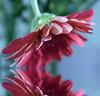 Gerbera daisy (jodi_tripp) Tags: pink flower green water drops bokeh procedure 12x18 31181 joditripp challengeyouwinner challengeoyuwinner wwwjoditrippcom photographybyjodtripp surgeonsurologysuite310 vancouverclinic87th