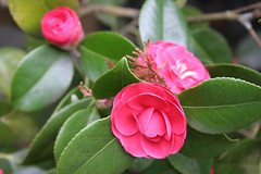 Camelias -- blossom and in bloom
