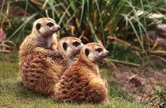 Larry, Moe & Shemp (coondawg_97 (AKA CrookedNose)) Tags: cute zoo meerkat sandiego flickrchallengegroup photofaceoffwinner pfogold pregamesweepwinner