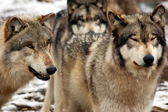 Part of the pack (tammyjq41) Tags: searchthebest indiana pack males wolves tjs wolfpark tjd specanimal animalkingdomelite impressedbeauty