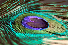 (Spandana R) Tags: colour green peacock plume brillianteyejewel