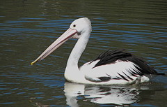 Pelican (westrock-bob) Tags: wild copyright white bird nature water swimming canon dark photography photo wings image pics song flight beak feathers picture feather bob australia pic pelican photograph aviary canberra ripples s2is act allrightsreserved westrock featheredfriend canons2is cuthill westrockbob bobcuthillphotographygmailcom nonzoo bobcuthill