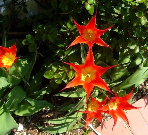 supernova flowers