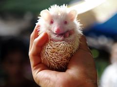 pop out to say hello! (AraiGodai) Tags: interesting small explore porcupine araigordai raigordai araigodai