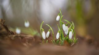 Gewoon Sneeuwklokje - Common Snowdrop