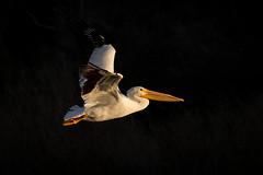 Beacon (gseloff) Tags: americanwhitepelican bird flight bif sunrise wildlife horsepenbayou pasadena texas kayakphotography gseloff