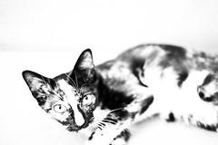 Curiosity (Rob₊Lee) Tags: kitten tortoiseshell highkey blackandwhite noiretblanc kikisdeliveryservice monochrome domesticcat feralcat straycat
