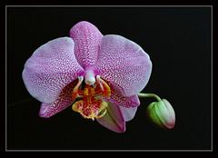 Big pink (orchid) (Penandus) Tags: orchid flower macro closeup miranda filmphotography vintagecameras mirandadx3