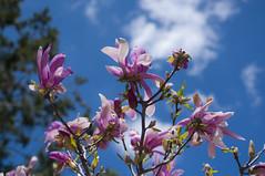 Magnolia (Xanis_WFN) Tags: spring magnolia pentaxkx pentaxsmcpda35mmf28