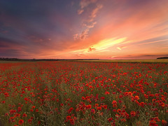Poppies and Wheat (peterspencer49) Tags: uk sunset england unitedkingdom wheat poppies wiltshire poppyfields peterspencer h3dll39