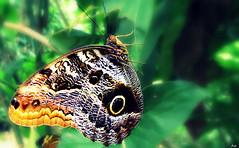 Mariposa Ol