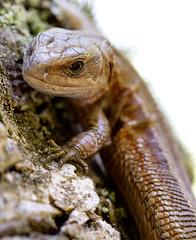Curios Lizard (apstrand) Tags: sweden places ödla skäralid zootocavivipara skogsödla söderåsensnationalpark kopparhatten