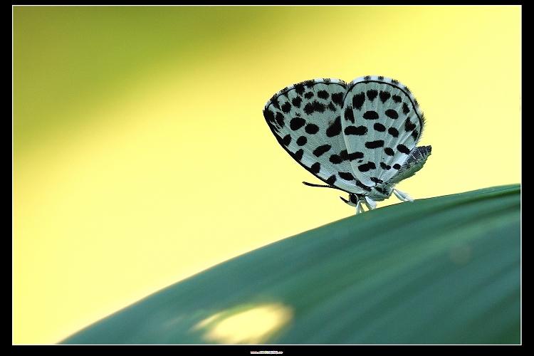 棋石小灰蝶