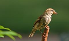 The Adventures of Caroline (cont.) (linda yvonne) Tags: sparrow brave takingastand interestingness217 i500 theadventuresofcaroline