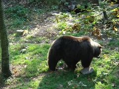 Berenbos (Femke Utr) Tags: beer rhenen ouwehandsdierenpark