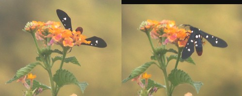 Polkadot Wasp Moth on Lantana