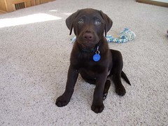 Chocolate Labrador Puppy: Cheyenne @ 8 weeks old