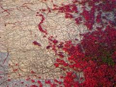 239 (kemie) Tags: autumn leaves ivy leav project365