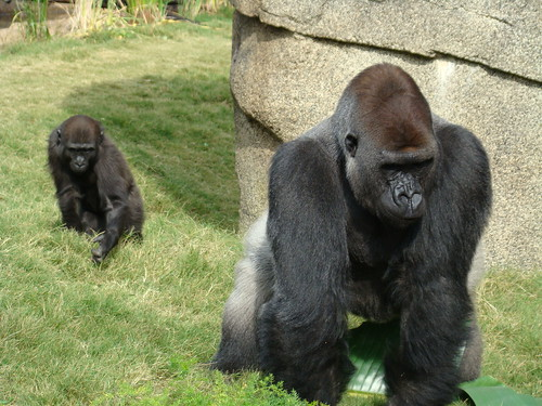 Gorillas at the Los Angeles Zoo