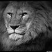 African Lion, Black and White Study by Dan Harrod Photography Blog