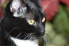 07-11-18-068 (Cosmos59) Tags: cat nikon chat d80 nikond80 kissablekat