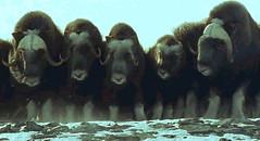 15 musken oxen formation