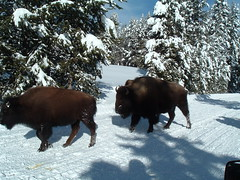 Bison: kind of like cows