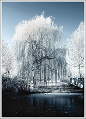 Winter weeping-willow (Jan Ronald Crans) Tags: winter snow tree ice frost sneeuw boom weepingwillow flevoland almere ijs vorst flickrsbest