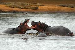 Fighting or playing? (jeremyhughes) Tags: playing water southafrica nikon hippopotamus d200 fighting nikkor soe hippos krugernationalpark sparring crocodiles kruger frolicking tc14eii hippopotami nikond200 300mmf4d