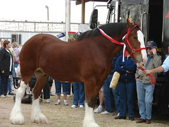 Pretty horse (canaltowntraveler) Tags: horse clydesdale galope