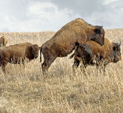 Ton of Love (dbarronoss) Tags: wild love animal sex mating bison soe tallgrassprairie americanbuffalo