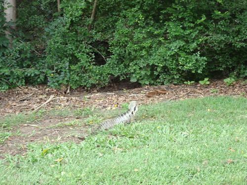 iguana en el botanico