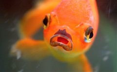 """I Am Not The Sushi You Seek!"" (Samer Farha) Tags: fish beer bar aquarium goldfish dive dcist goodbye closing fishface arlingtonva institution samer farha top20fish img9176 farhafotocom drdremostaphouse onephotoweeklycontest ucex2009 yonas1vote1"