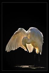 Limelight.. (hvhe1) Tags: bird nature animal bravo wildlife egret naturesfinest specanimal hvhe1 hennievanheerden infinestyle avianexcellence bratanesque lightstylus