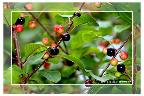 Planta con frutillos