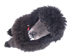 snow is yummy (Foxxy & Baldr) Tags: snow puppy nh londonderry standardpoodle 15weeksold baldr