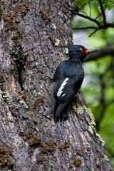 Magellanic Woodpecker (billy3001) Tags: patagonia bird southamerica woodpecker desierto magellanic campephilus canonef100400mmf4556lisusm campephilusmagellanicus