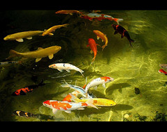 Koi (Dulce Scalla) Tags: brazil lake fish water brasil garden lago pond sopaulo jardim koi carps peixes carpas abigfave duetos anawesomeshot goldenphotographeraward theperfectphotographer